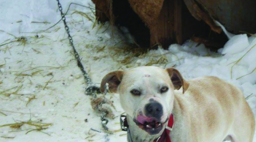 The Dangers of Dog Chaining